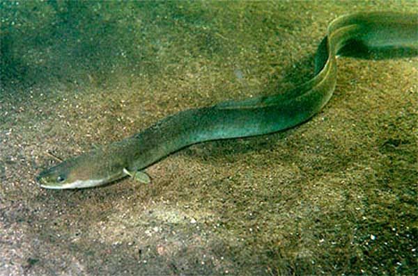 anguille-mer-aquarium-limoges