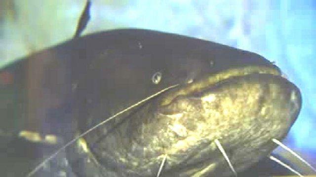 silure-bébert-limoges-aquarium-lheb-héros