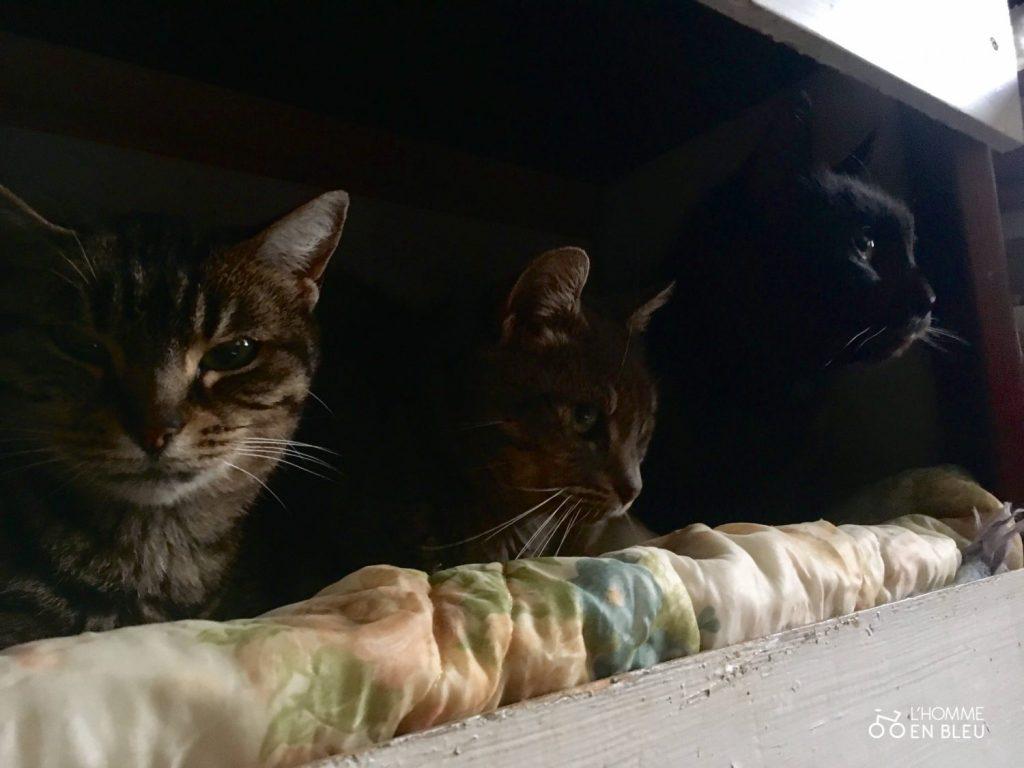 trois chat en diagonale tetes qui depassent
